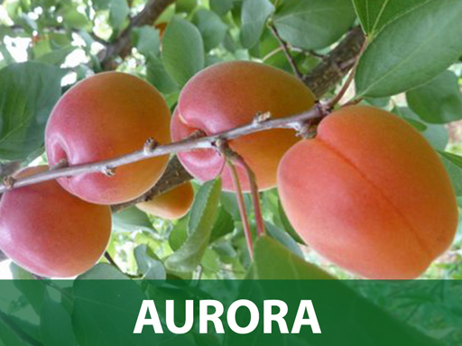 Aurora sadnica kajsija