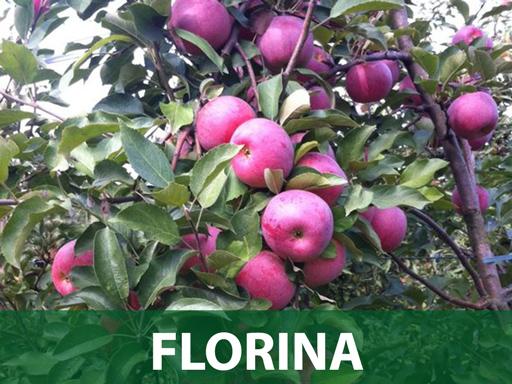 Florina sadnice jabuka