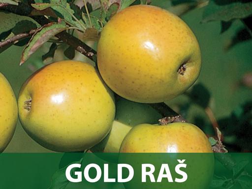 Gold raš sadnice