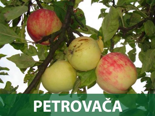 sadnice Petrovača jabuka