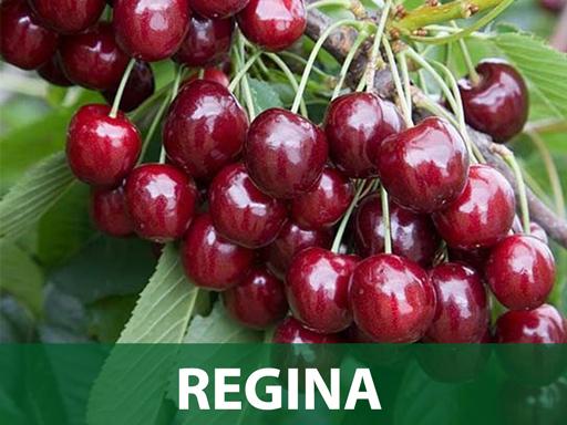 Regina sadnice