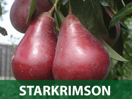 Starkrimson sadnice