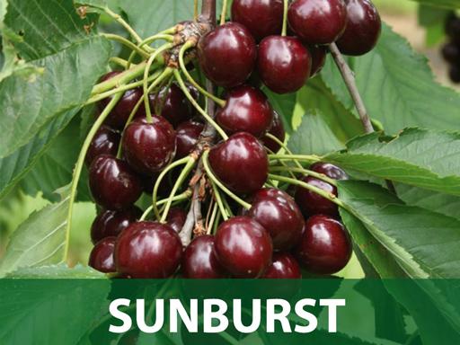 Sunburst sadnice trešnje