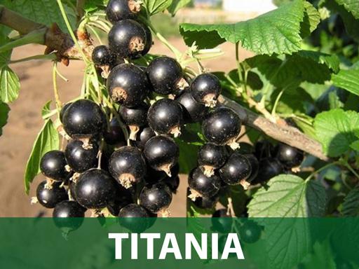 Titania ribizla sadnice prodaja