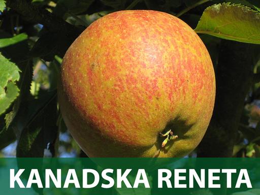 Kanadska Reneta sadnice