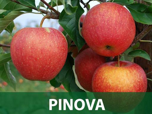 Pinova sadnica