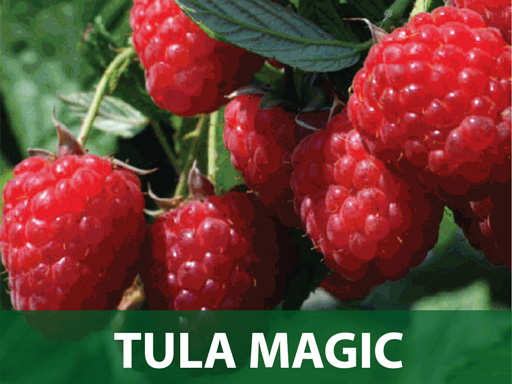 Tula magic malina sadnice