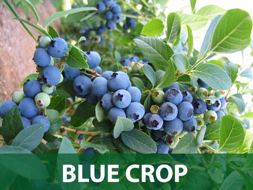 Bluecrop borovnica sadnice prodaja