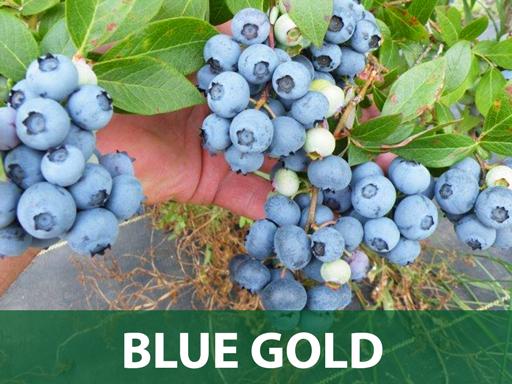 Blue gold borovnica sadnice prodaja