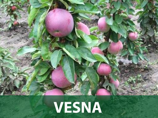 Vesna sadnice jabuka