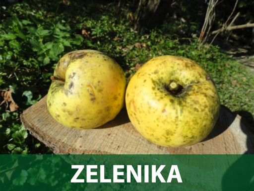 Zelenika sadnice jabuka