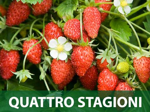 Quattro stagioni jagoda sadnice prodaja